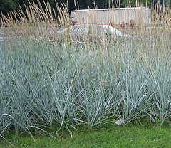 Types of ornamental grasses for Blue ornamental grass varieties