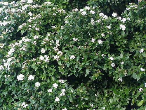Evergreen shrub fall blooming pictures to pin on pinterest pinsdaddy - Blooming shrubs ...