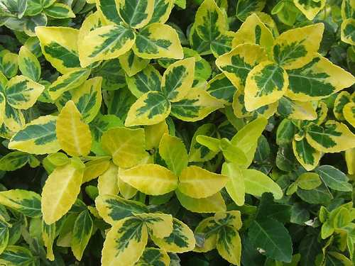 Identifying Evergreen Shrubs Amp Bushes
