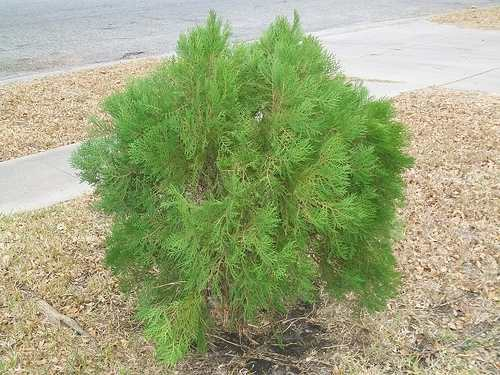 Dwarf Cedar Tree Varieties ~ Dwarf fir trees types bing images