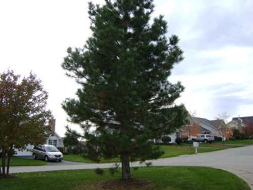Fast growing evergreen trees for your garden for Trees that stay small